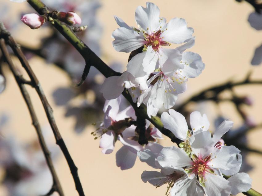 Almond tree branch in bloom  (Servicios Editoriales Georama)