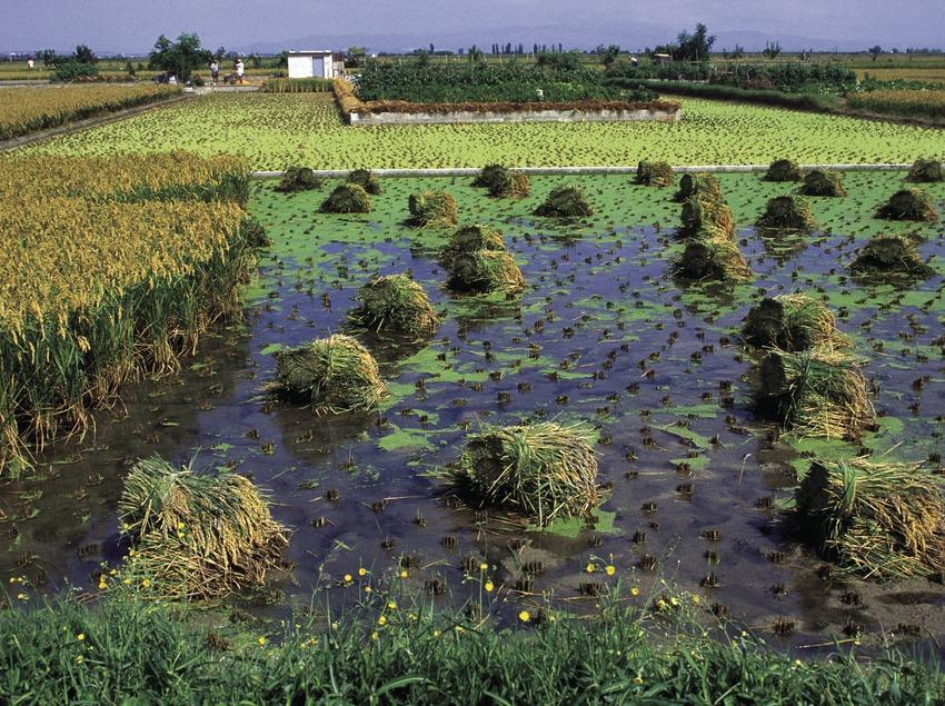 Arrossars al Parc Natural del Delta de l'Ebre.  (José Luis Rodríguez)
