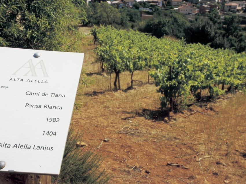 Vignoble de la cave Alta Alella.  (Turismo Verde S.L.)