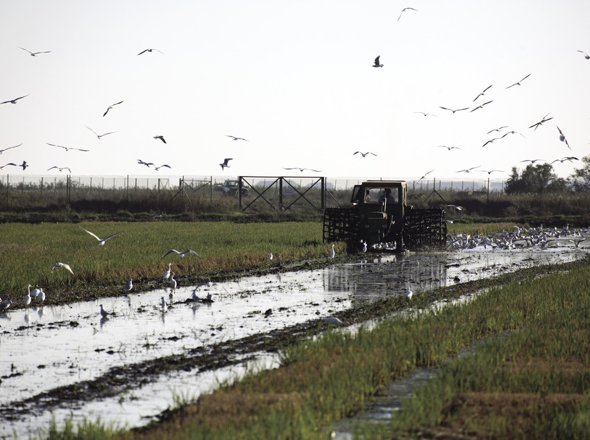 Reisbauer und Vögel im Naturpark Delta de l'Ebre