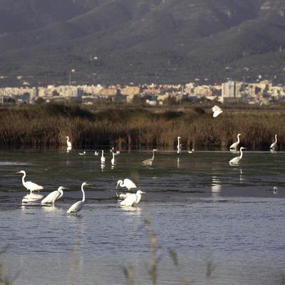 Aus en un aiguamoll al Parc Natural del Delta de l'Ebre  (Miguel Raurich)