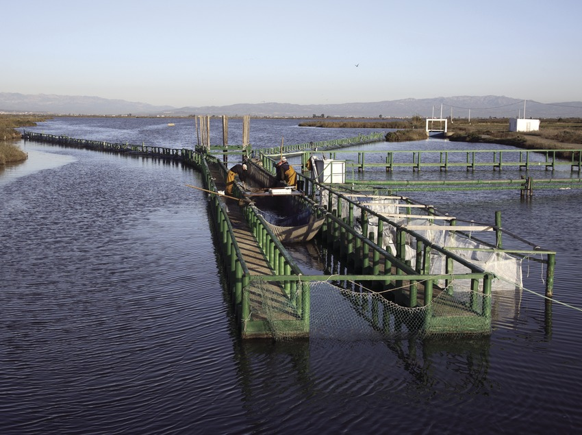 Aale fischen im Naturpark Delta de l'Ebre  (Miguel Raurich)