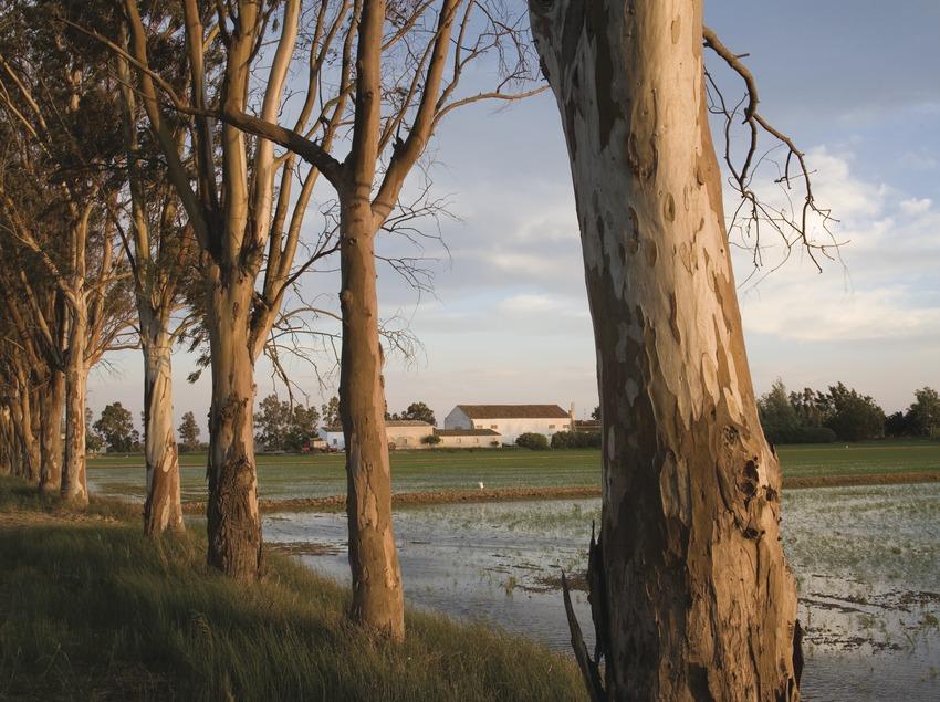 Champs de riz du delta de l'Èbre au printemps.