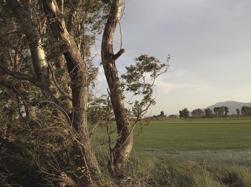 Reisfelder im Delta de l'Ebre im Frühling.  (Miguel Raurich)