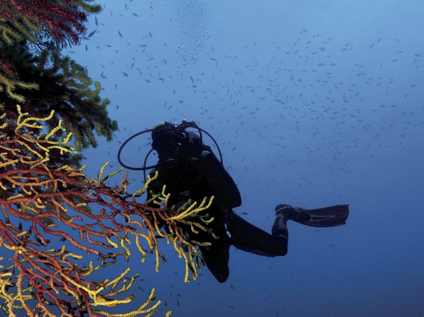 Submarinista entre gorgònies vermelles (Paramuricea clavata) als Canons de Tamariu