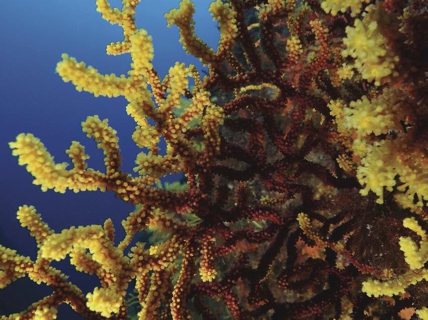 Gorgónias rojas (Paramuricea clavata) de los Cañones de Tamariu (Andreu Llamas. Editorial Anthias, S.L.)