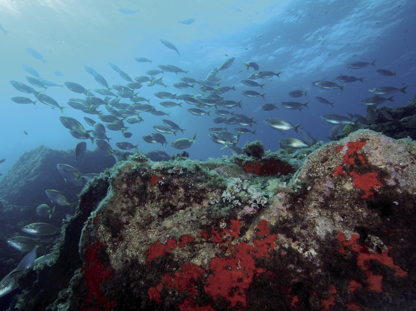 Banc de salpes (Sarpa salpa) al fons marí de les Illes Formigues