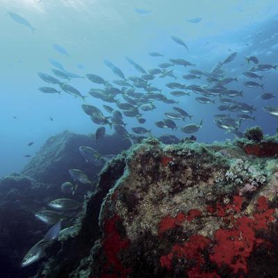 Banc de salpes (Sarpa salpa) al fons marí de les Illes Formigues (Andreu Llamas. Editorial Anthias, S.L.)