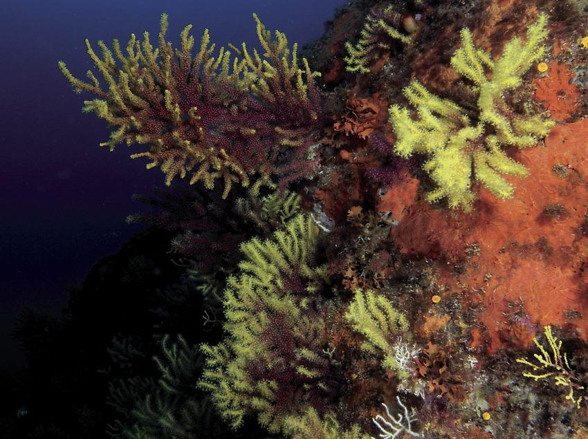 Gorgónias rojas (Paramuricea clavata) de los Cañones de Tamariu