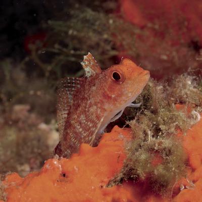 Gelber Spitzkopf-Schleimfisch (Tripterygion tripteronotus) vor der Landzunge von Palamós
