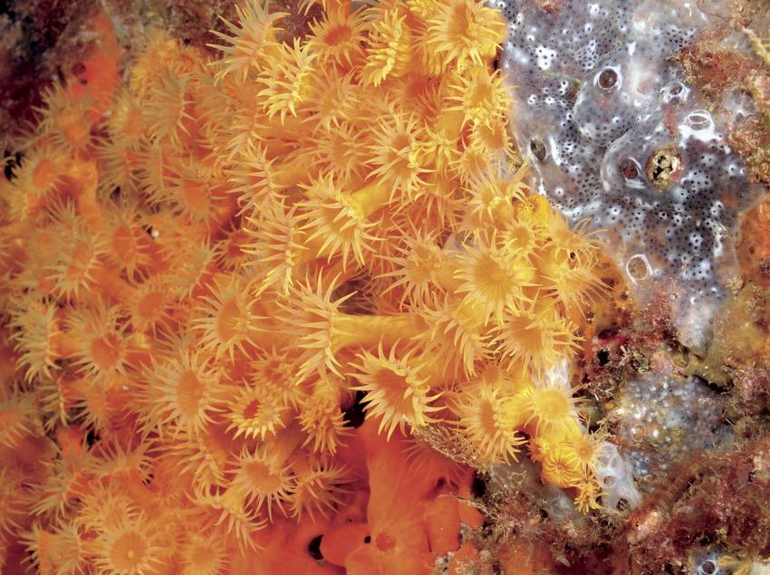Colònia d'anemone incrustant groga (Parazoanthus axinellae) a Ullastres (Andreu Llamas. Editorial Anthias, S.L.)
