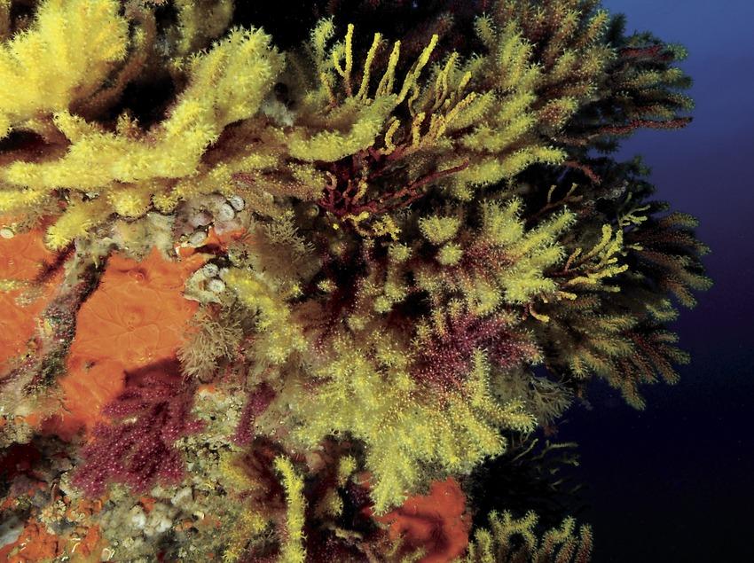 Farbwechselnde Gorgonien (Paramuricea Clavata) an den steilen Felswänden von Tamariu