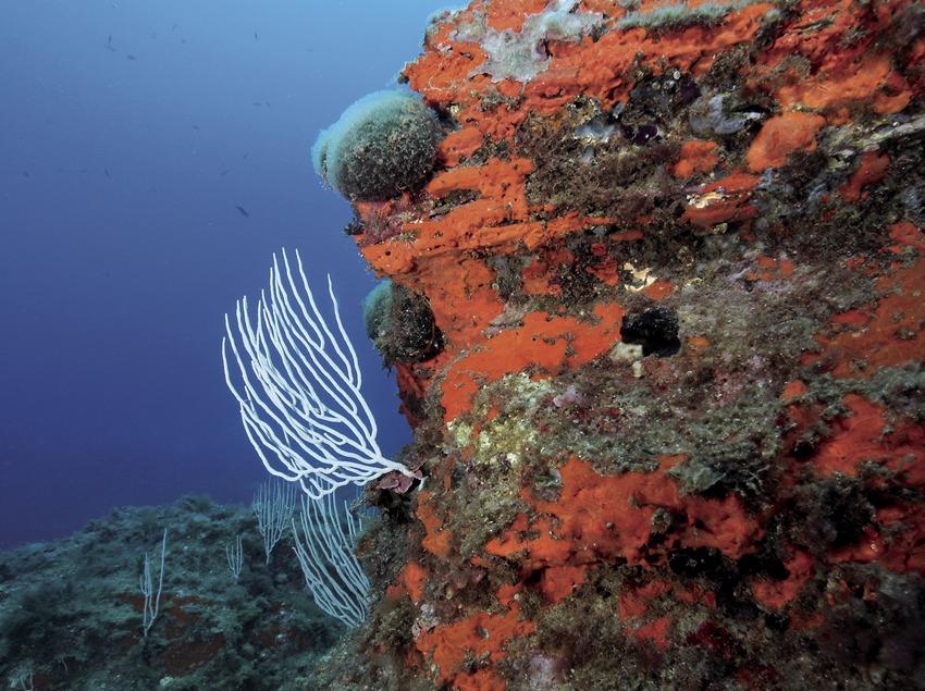 Gorgónia blanca (Eunicella verrugosa) sobre una pendiente rocosa cubierta de esponjas incrustantes rojas (Crambe crambe) en el fondo marino de la Illa Negra