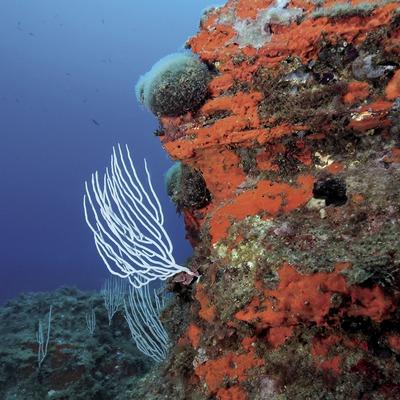 Gorgónia blanca (Eunicella verrugosa) sobre una pendiente rocosa cubierta de esponjas incrustantes rojas (Crambe crambe) en el fondo marino de la Illa Negra (Andreu Llamas. Editorial Anthias, S.L.)