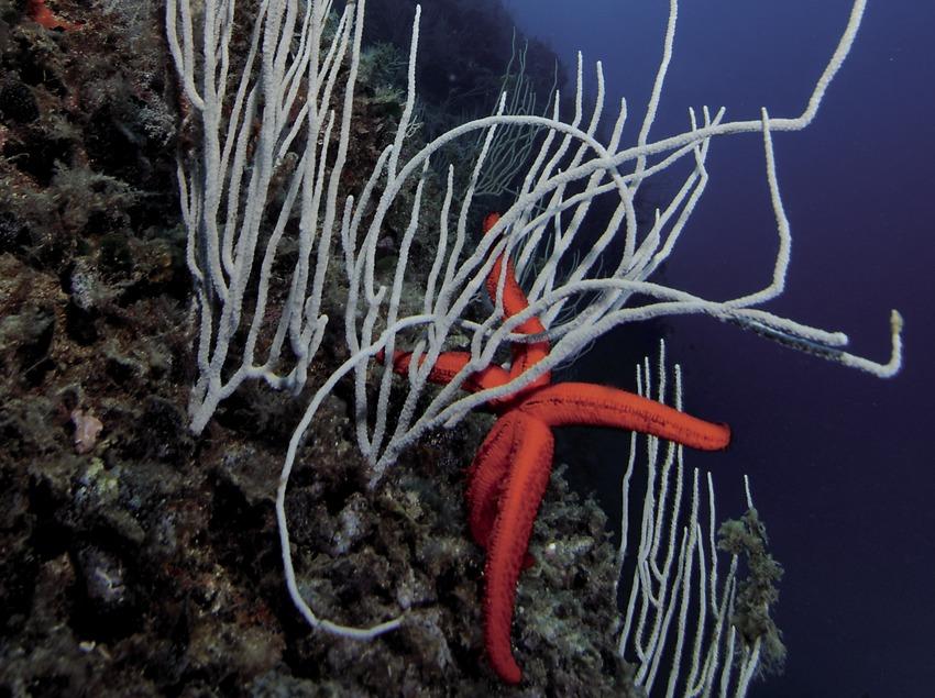 Purpurstern (Echinaster Sepositus) und Kaltwasser-Gorgonien (Euricella verrugosa) auf dem Meeresgrund vor der Negra-Insel