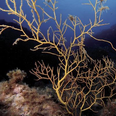 Gorgonia anaranjada (Lophogorgia ceratophyta) en los Cañones de Tamariu (Andreu Llamas. Editorial Anthias, S.L.)