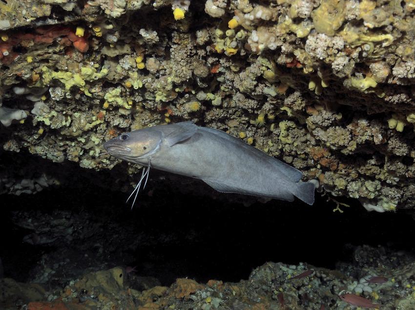 Нитеперый морской налим (Phycis phycis) у скалистого образования Фурио-Фито