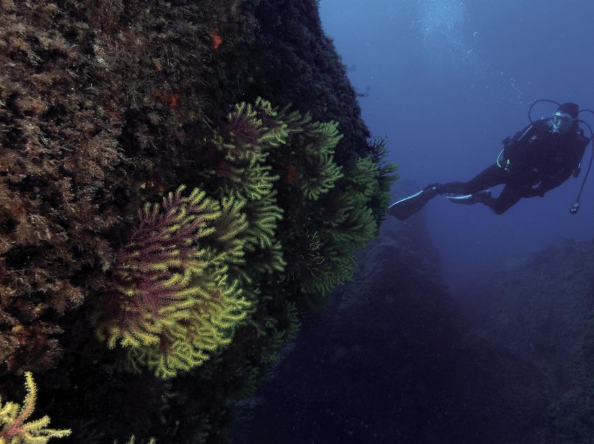Plongeur observant une paroi sous-marine couverte de gorgones jaunes (Eunicella cavolini) dans les fonds marins des îles Formigues.