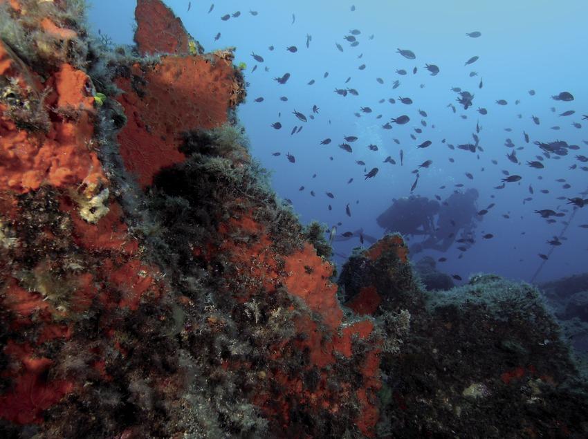 Mönchsfisch-Schwarm (Chromis Chromis) am Meeresgrund des Tabal