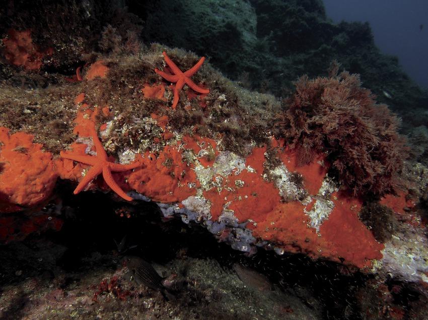 Красные морские звезды (Echinaster sepositus) среди известковых водорослей и морских губок в бухте Порт-Сальви