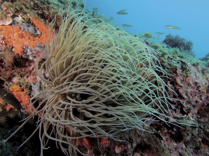 Обычная морская анемона (Anemonia sulcata) на дне бухты Порт-Сальви