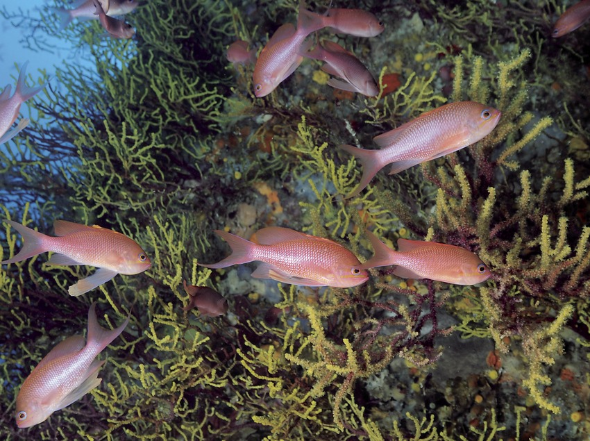 Banc de forcadelles veres (Anthias anthias) al Furió Fitó (Andreu Llamas. Editorial Anthias, S.L.)