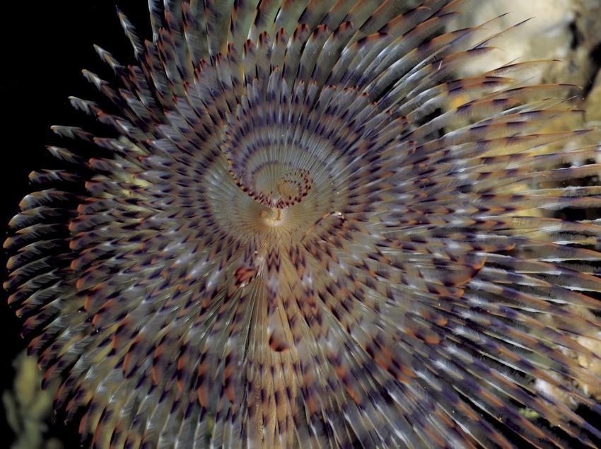 Gusano plumero de mar (Spirographis spallanzanii) en la Cova del Dofí, en el fondo marino de las Illes Medes
