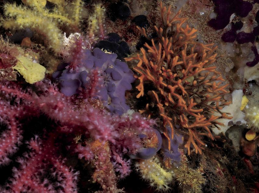 Cuernos de alce (briozoos) (Adeonella calveti) y otras especies del del coralígeno en Ullastres