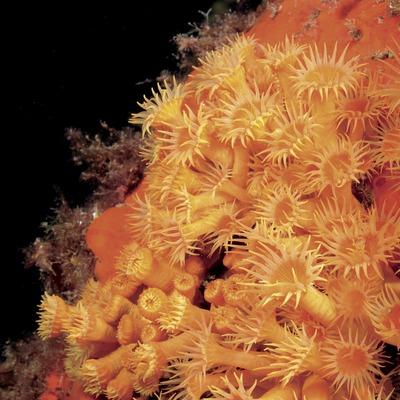 Colònia d'anemone incrustant groga (Parazoanthus axinellae) a Ullastres