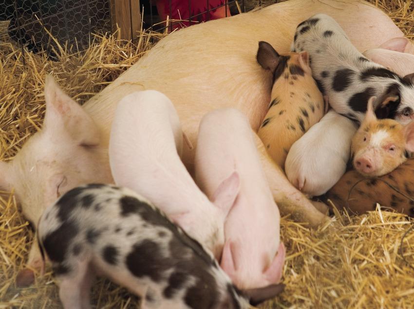 Corral de cerdos durante la Feria de la Candelera