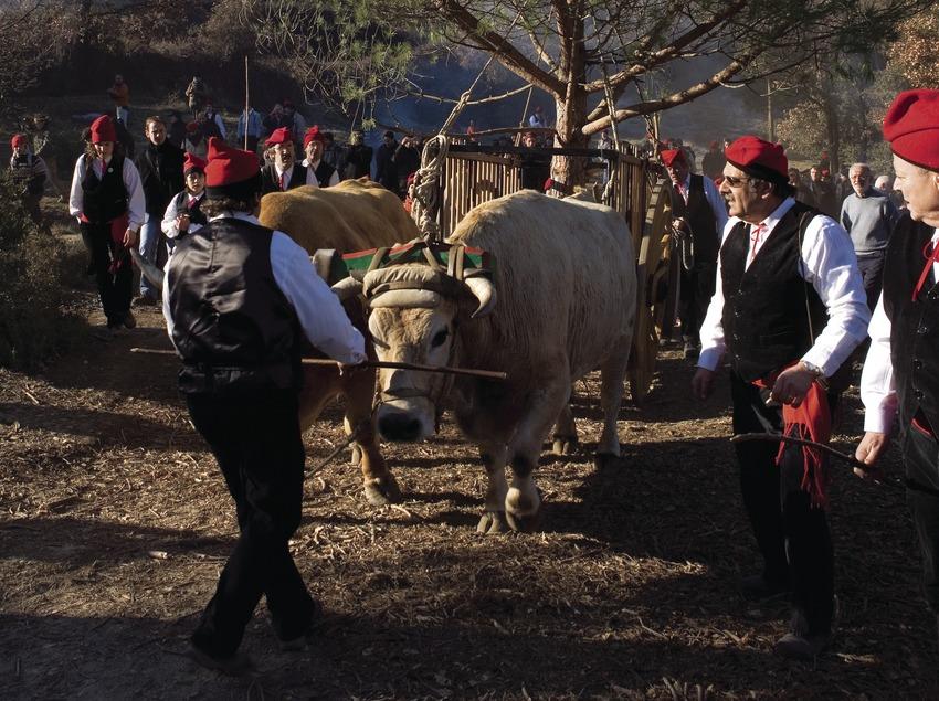 El seguici es posa en camí amb l'arbre lligat al carro tirat per bous durant la Festa del Pi