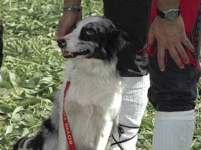 Perro en el Concurso de Gossos d'Atura (Perros pastores) (Oriol Llauradó)