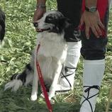 Gos en el Concurs de Gossos d'Atura (Oriol Llauradó)