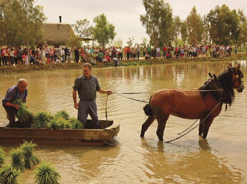 Fiesta de la Siega del arroz.  (Lluís Carro)