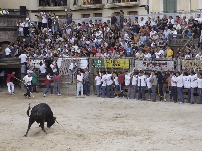 «Correbou» (lâcher de taureaux dans les rues) pendant la fête patronale (Oriol Llauradó)