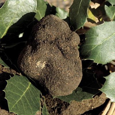Truffe noire couverte de feuilles de chêne-vert