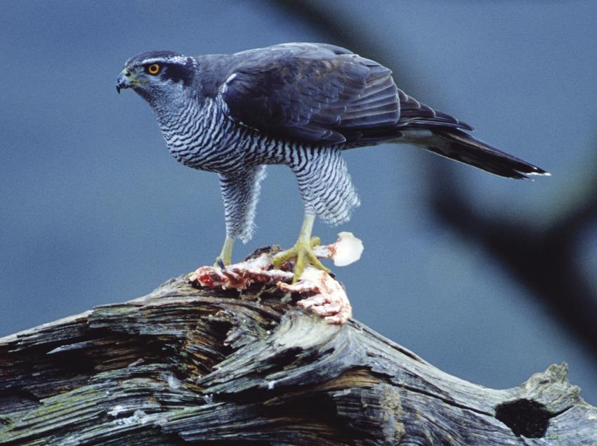 Azor en un árbol mientras se alimenta de una presa