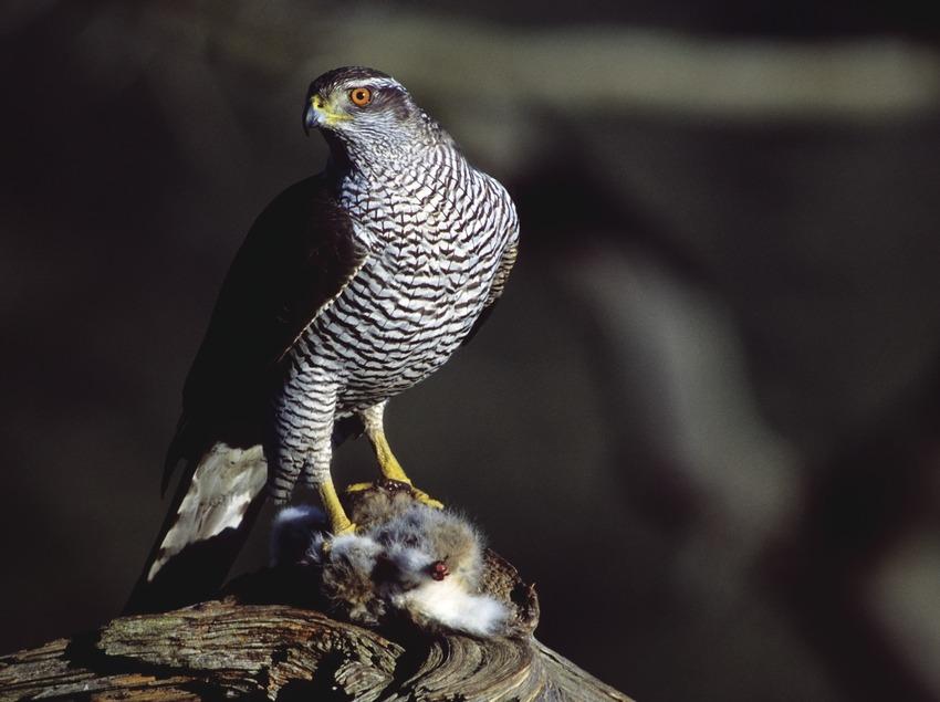 Azor en un árbol mientras sujeta una presa con las patas