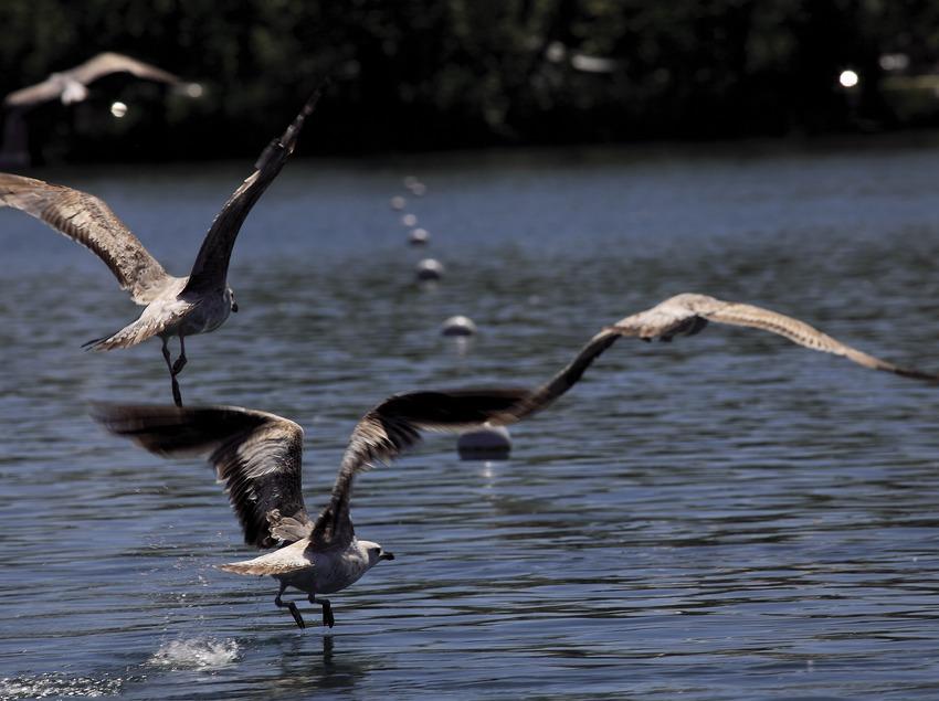 Чайки на озере Баньолес (Cablepress)
