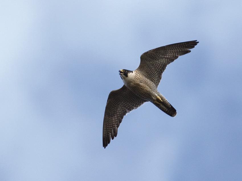 Halcón peregrino en pleno vuelo
