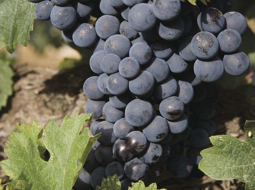Vinyes i raïms