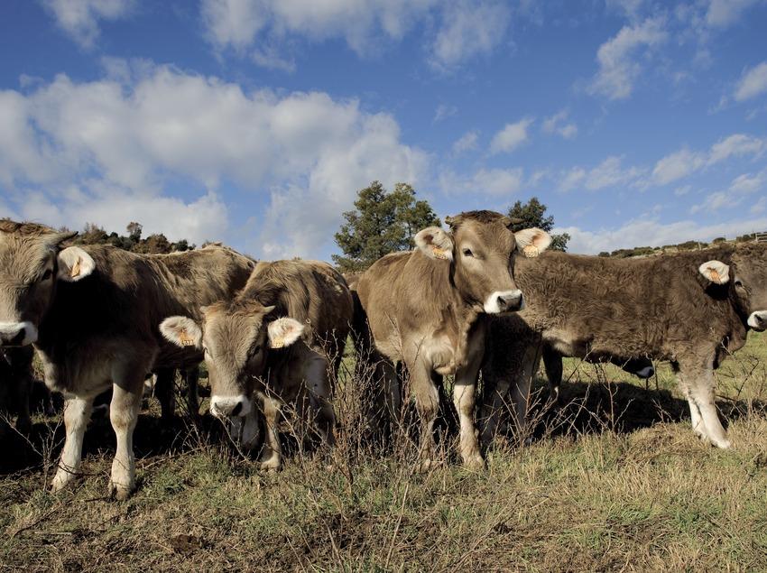 Vedells de vaques brunes en un prat (Marc Castellet)