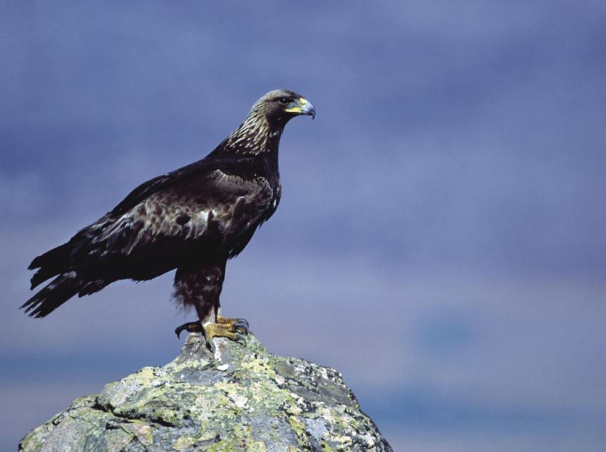 Aigle royal sur un rocher
