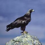Águila real sobre una roca