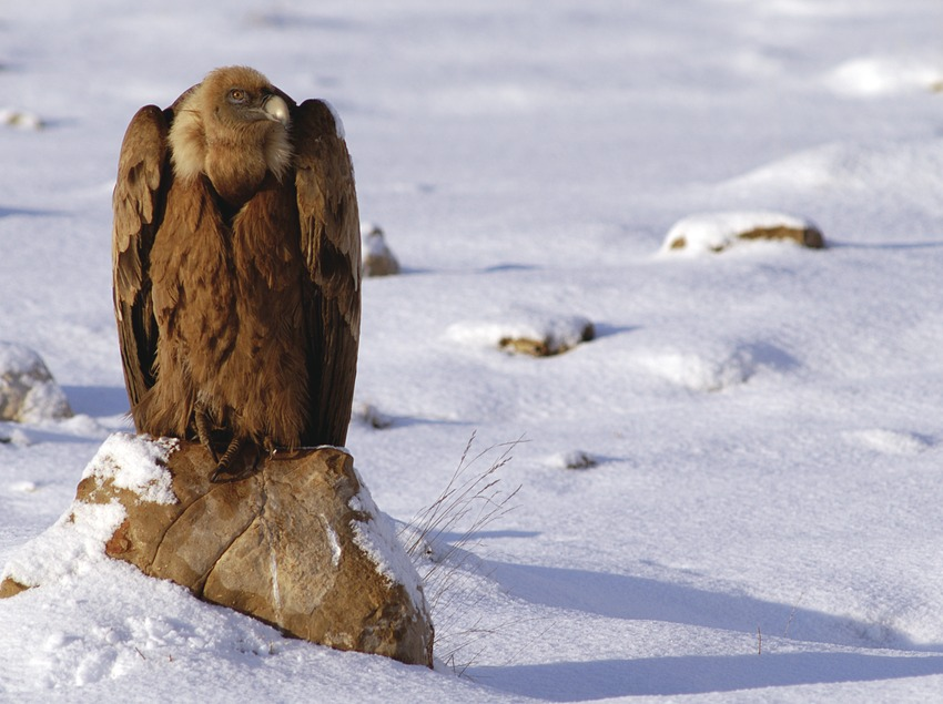 Buitre en la nieve