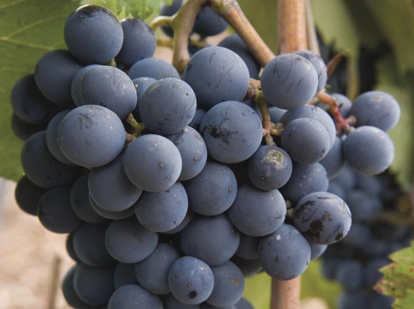 Viñas y uvas