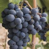 Viñas y uvas  (Imagen M.A.S.)
