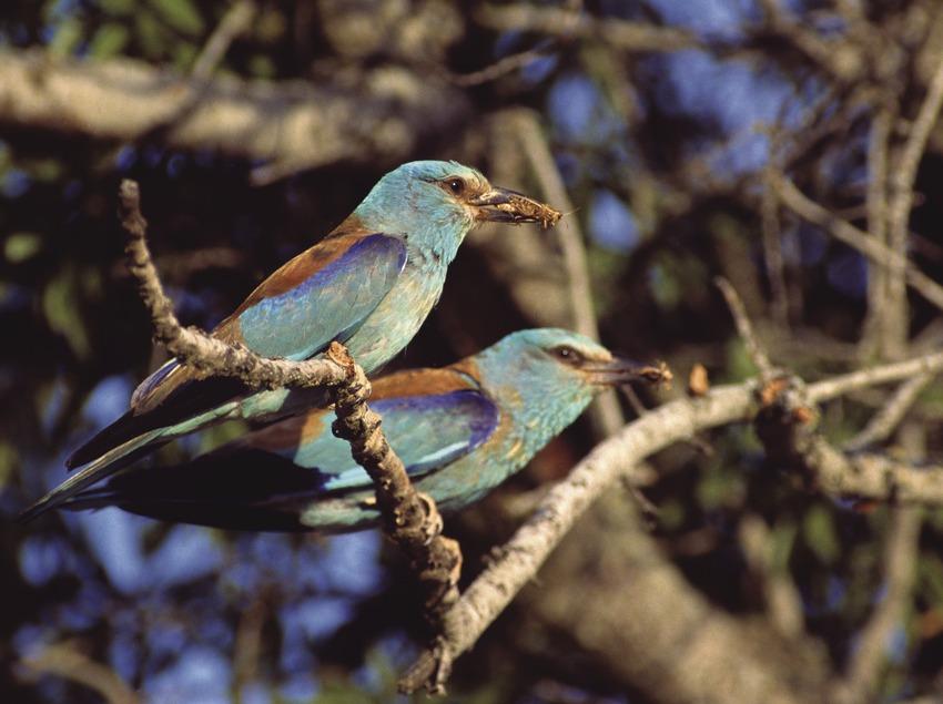 Parella de gaig blau amb una presa al bec (José Luis Rodríguez)