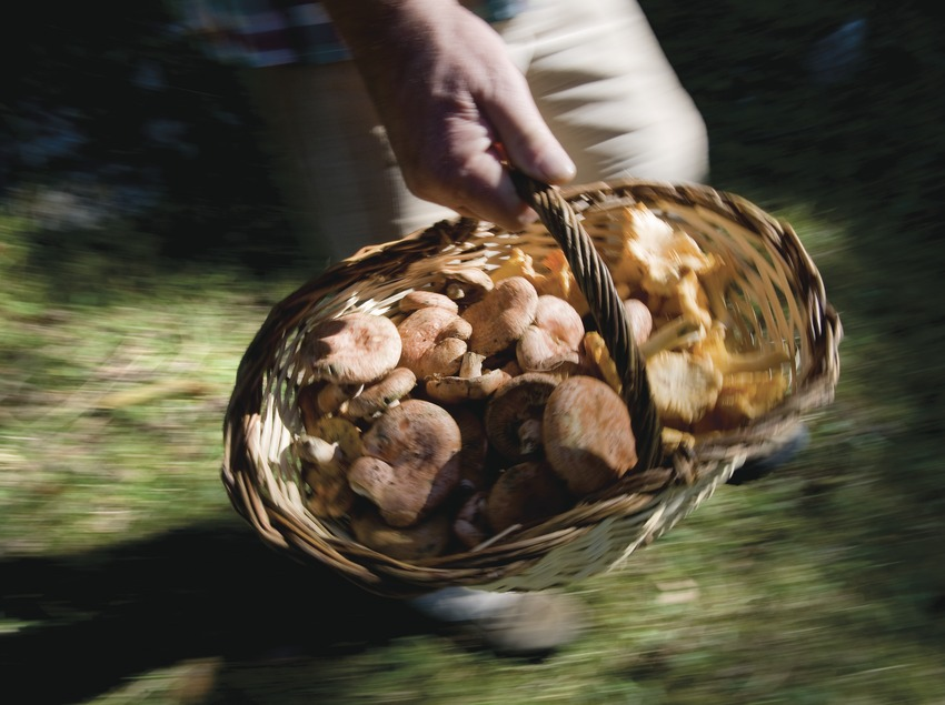 """Basket of mushrooms in the 54th Competition of """"Boletaires"""" (Mushroom Gatherers)"""