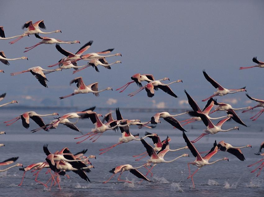Flamencs al Parc Natural del Delta de l'Ebre  (Ferran Aguilar)